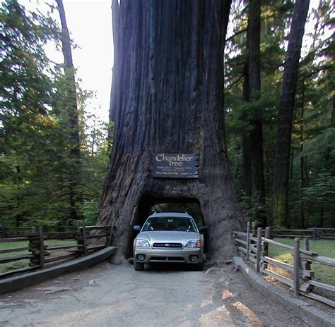 chandelier drive through tree california redwoods northern california s chandelier drive