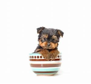 Best 25 Yorkie Puppies For Adoption Ideas On Pinterest Teacup Yorkie