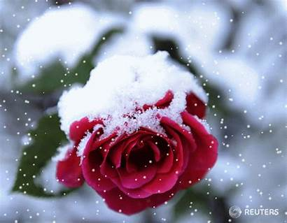 Rose Snow Roses Winter Animation Flowers Season
