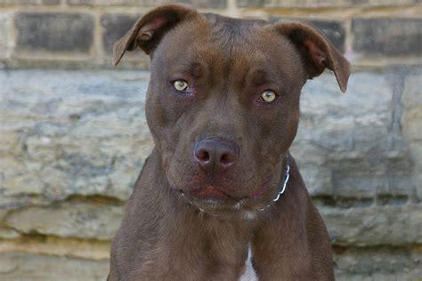 amerikanische pitbull terrier hunderassen haustiere