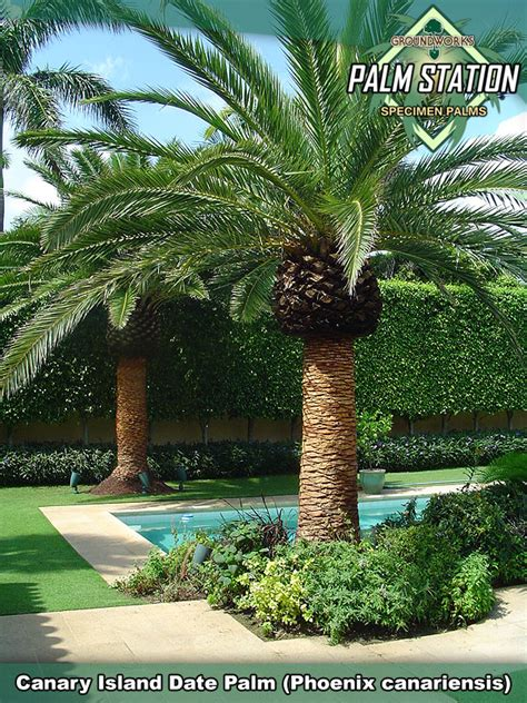 Groundworks  Canary Island Date Palm Tree. Time Warner Cable Oswego Ny Hours. Internet Business Phone Systems. Marimba Software Deployment Media Dcsd Org. Web Development Courses Online. Texting While Driving Ad Music School Toronto. Return Flights To New York Ct Home Mortgage. How Can I Become An Accountant. Florida Timeshare For Sale Tv Show Treatment