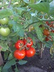 Solanum lycopersicum Images - Useful Tropical Plants