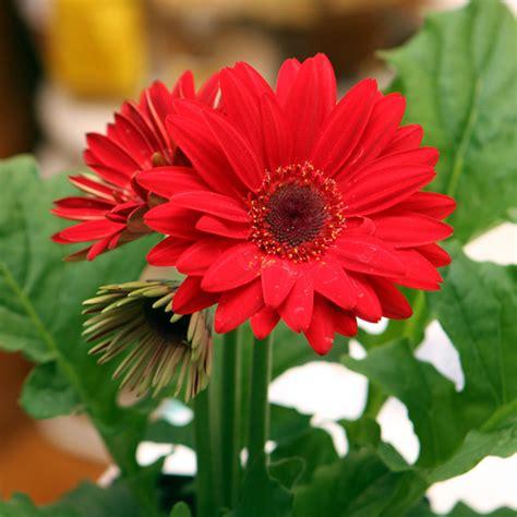 buy gerbera red plant   nursery