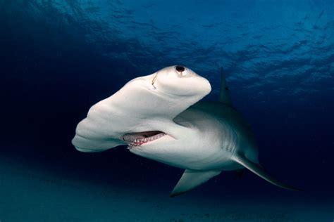 shark hammerhead monster fish florida took he legend catch hand
