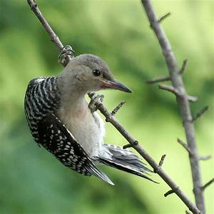 Baby Woodpecker Bird