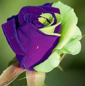 Purple Green Mix Rose Bud | Most Beautiful