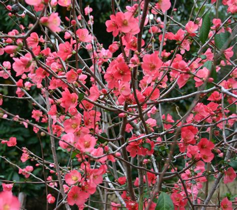 Plant Monday  Japanese Dwarf Flowering Quince Gardening