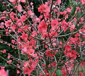 plant monday – japanese dwarf flowering quince   Gardening ...