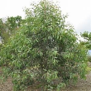 Eucalyptus En Pot : eucalyptus niphophilla pot de 15 litres hauteur 150 200 ~ Melissatoandfro.com Idées de Décoration