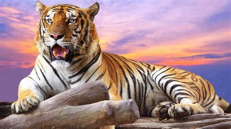 Tiger Wallpaper Wallpapertag
