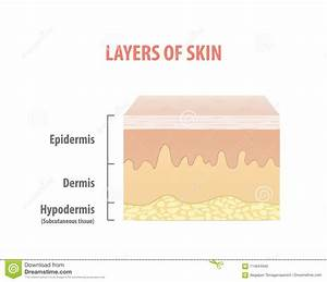 Layers Of Skin Diagram Illustration Vector On White