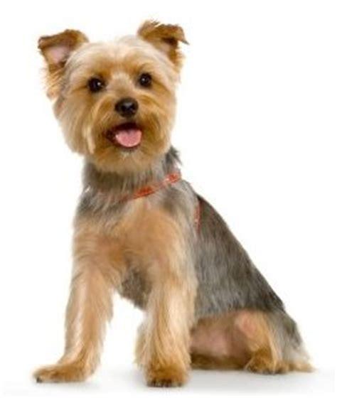 training yorkshire terriers yorkies