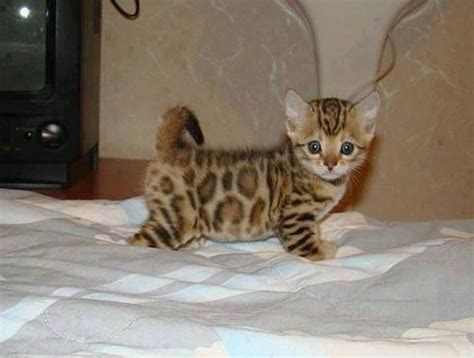 Asian Leopard Kitten  Cute Animals Pinterest