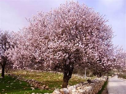 Almond Trees Spain Tree Fruit Flower Interesting