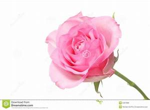 hoontoidly: Single Hot Pink Rose Images