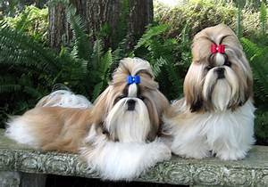 Cute Shih Tzu dogs photo and wallpaper. Beautiful Cute ...