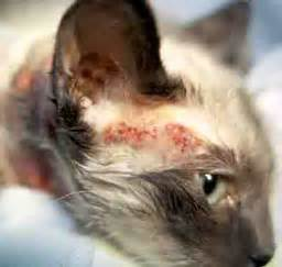 cat allergies feline dermatitis