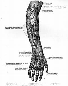 Image Of The Superficial Veins Of Arm And Forearm