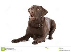 Chocolate Labrador Dog