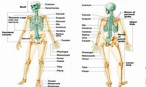 Notes On Appendicular Skeleton