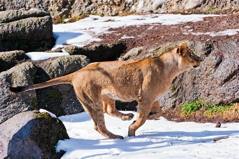 Lioness Running In The Snow