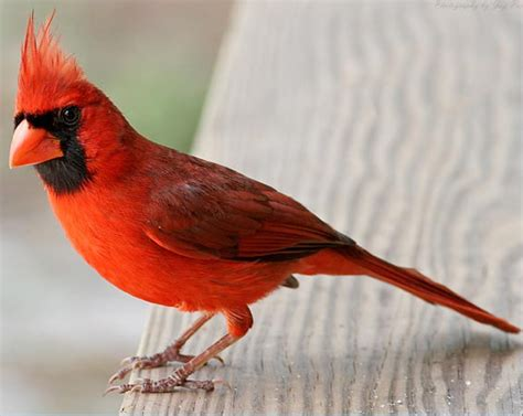 what does a cardinal bird look like blurtit