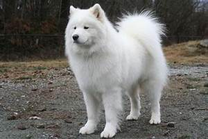 Tag For Big fluffy white dogs : Big Fluffy Dogs Dog Breeds ...