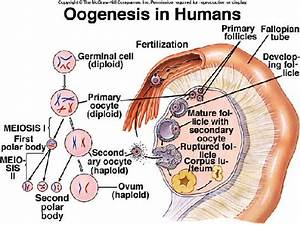Normal Oocyte Pictures