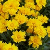 Coreopsis Fields of Gold - Pack of THREE Plants ...
