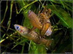 1000 images about Rainbow Fish & Goby Fish on Pinterest