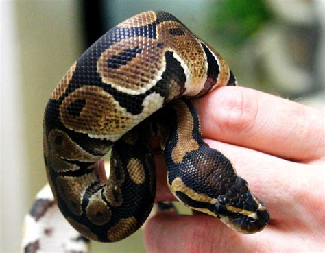 ball python heat l off at night ameyzoo exotic pets
