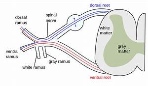 Spinal nerve - Wikipedia
