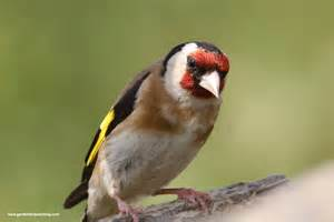 Yellow Goldfinch Birds
