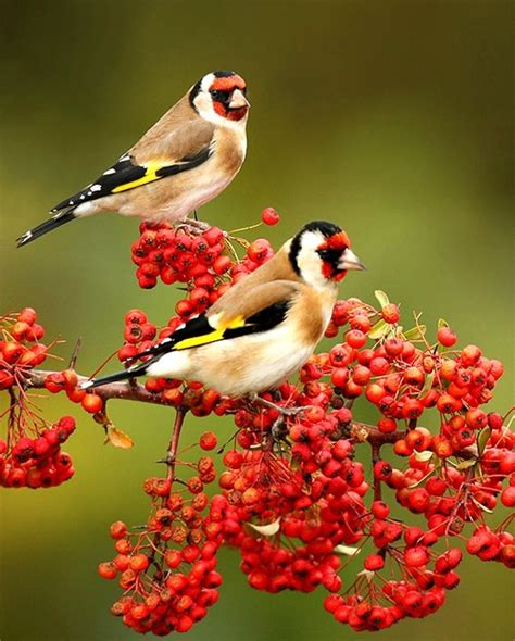Red Berry And Birds Im Seeing Red Pinterest