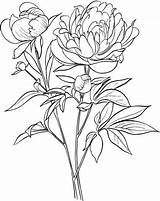 Peony Drawing Flower Coloring Flowers sketch template