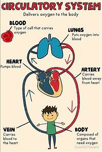 Circulatory System By Coolmsposters 149604018858718584