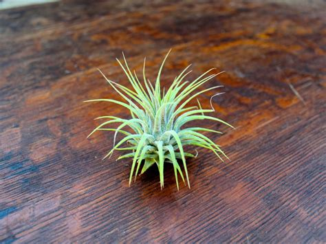 pictures of air plants 40 stunning photos featuring varieties and types of air plants