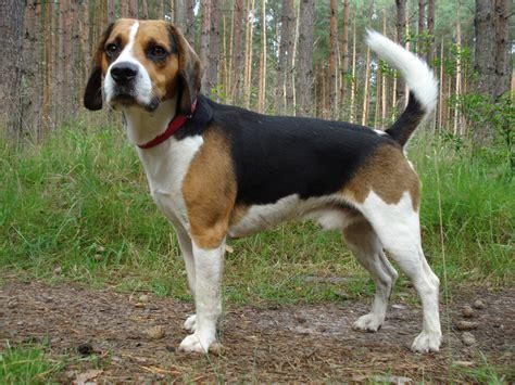 zoom sur une race le beagle