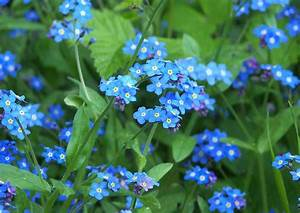 Bodendecker Blaue Blüten : myostis alpestris gartenvergissmeinnicht blaue bl ten garten steingarten bild material ~ Frokenaadalensverden.com Haus und Dekorationen