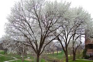 White Spring Flowering Trees Northeast