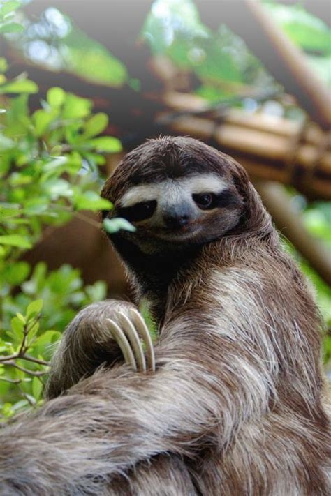 Cute Sloth Meme - 67 best sloths images on pinterest hilarious pictures humorous quotes and cubs