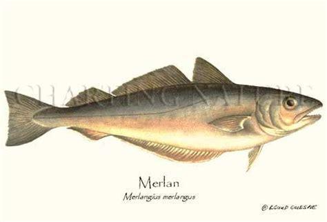 cuisiner le merlan l 39 histoire du merlan la cuisine de
