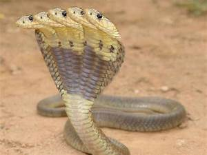 A snake found near Kukke Subrahmanya with 5 heads ...