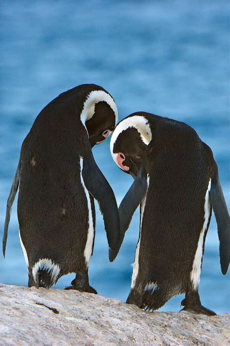 images  penguin  pinterest baby penguins