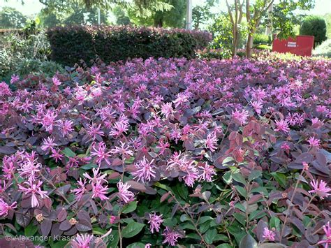 hedge plants aggregata plants gardens hedging plant loropetalum chinense china pink in flower