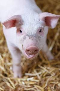 Little Pig In Barn Free Stock Photo