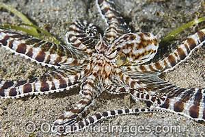 Mimic Octopus Stock Photo