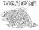 Porcupine Coloring Pages Animal sketch template