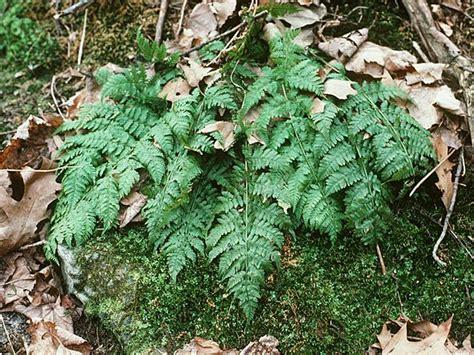 nuris blog tumbuhan lumut bryophyta  tumbuhan paku