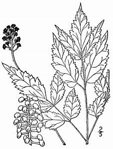 File Actaea Pachypoda Drawing Png
